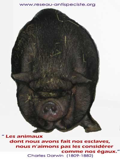 antispécisme , le McDonald n'accepte pourtant pas les cochons....
